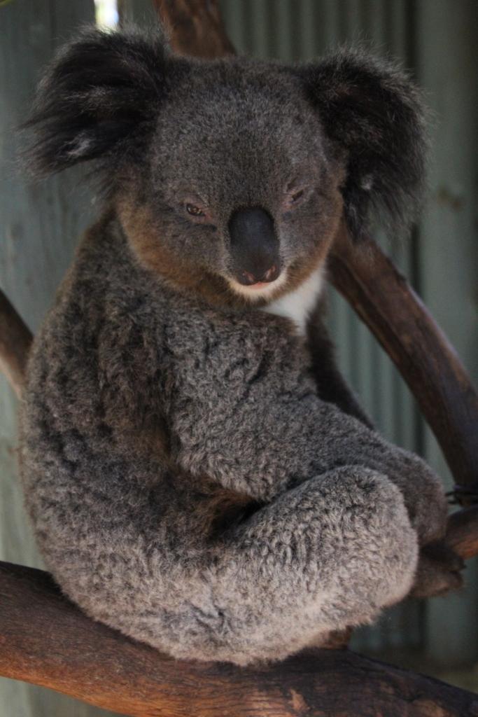 005-May15-The Koala
