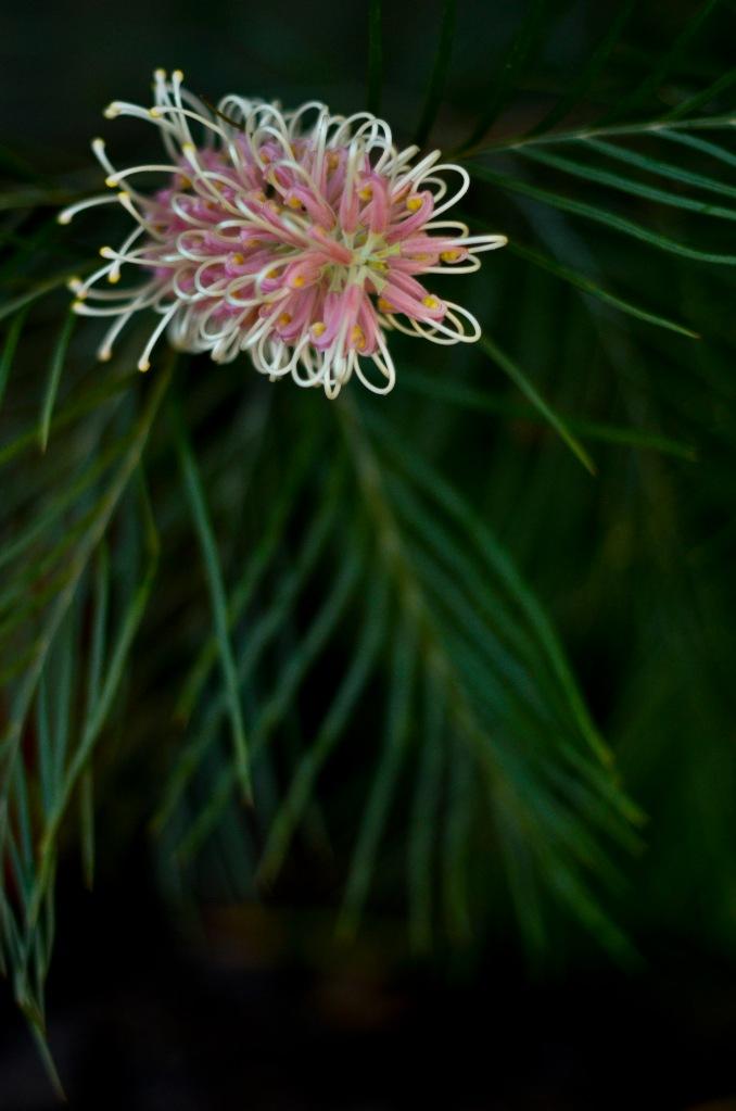 Stacey-May15-pink grevillia