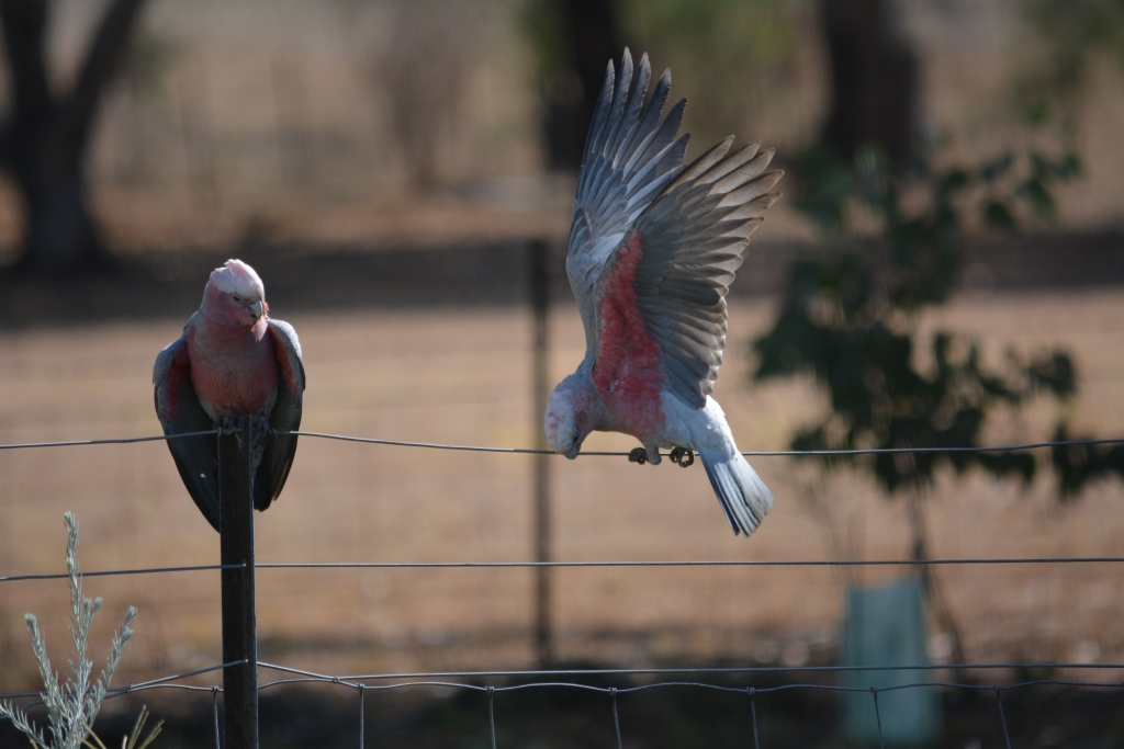 31-July15-Acting the Galah!