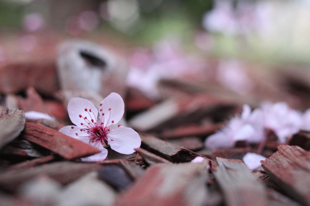 NickyB-Sept15-Fallen Blossom