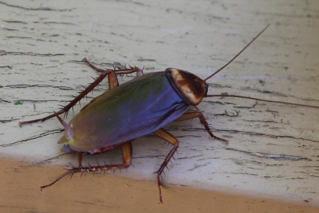 005-nov-16-country-cockroach