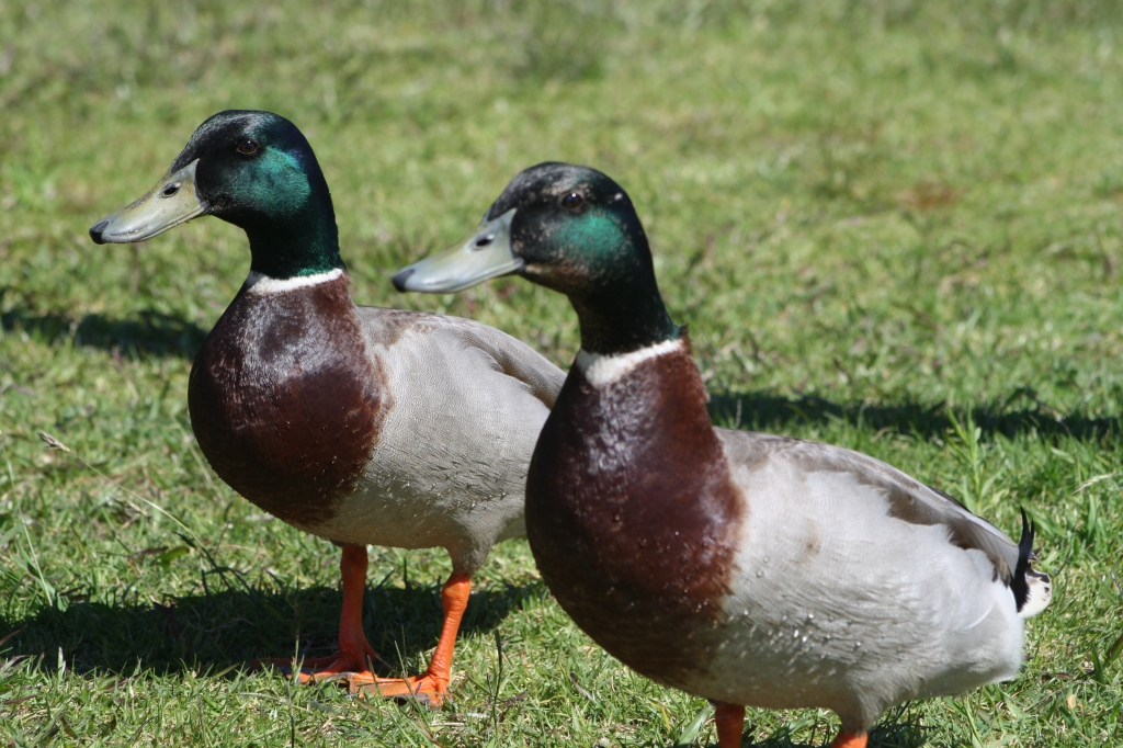 staylor-oct16-quack