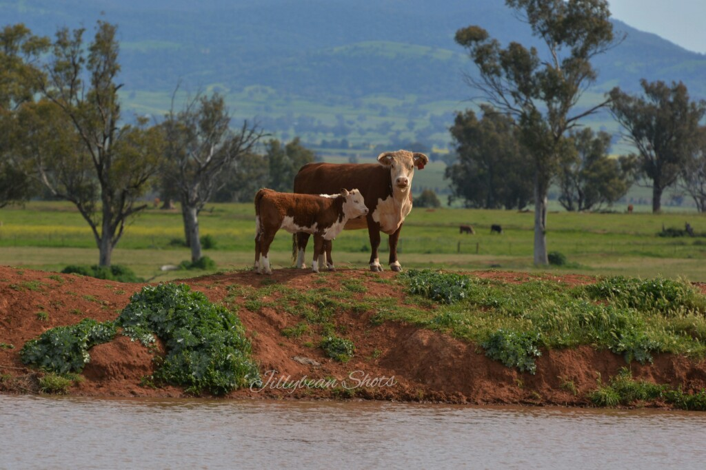 jilsampson_cattle-attunga-nsw_wm